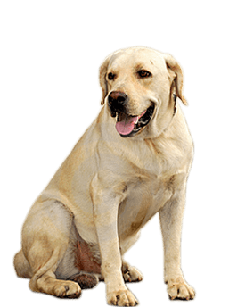clipart library download Dog png stickpng download. Golden retriever clipart transparent