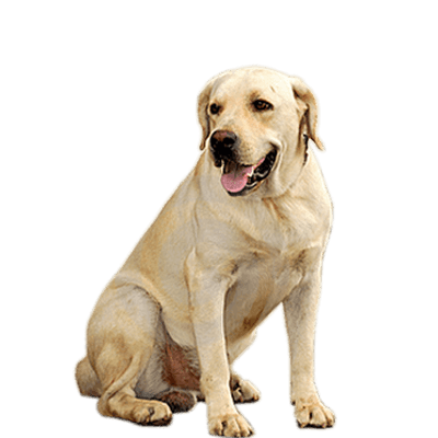 jpg black and white library Golden retriever clipart transparent. Dog group png stickpng