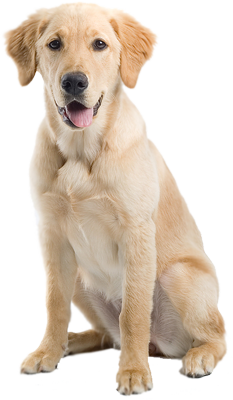 image freeuse stock Golden retriever clipart yellow lab. Pup png vision board