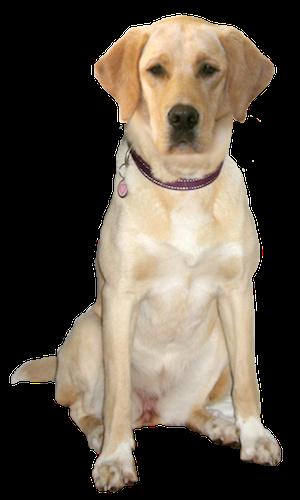 clip transparent Golden retriever clipart yellow lab. Labrador cards birthday thank