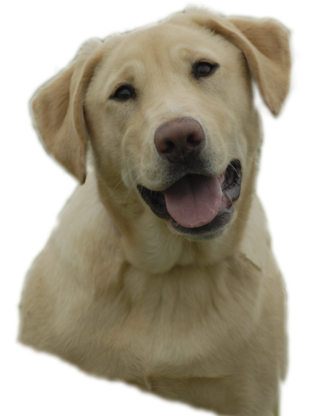 clip free stock Yellowlab free images at. Golden retriever clipart yellow lab
