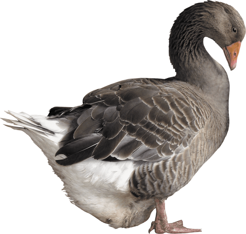 jpg download Png free images toppng. Goose clipart grey goose