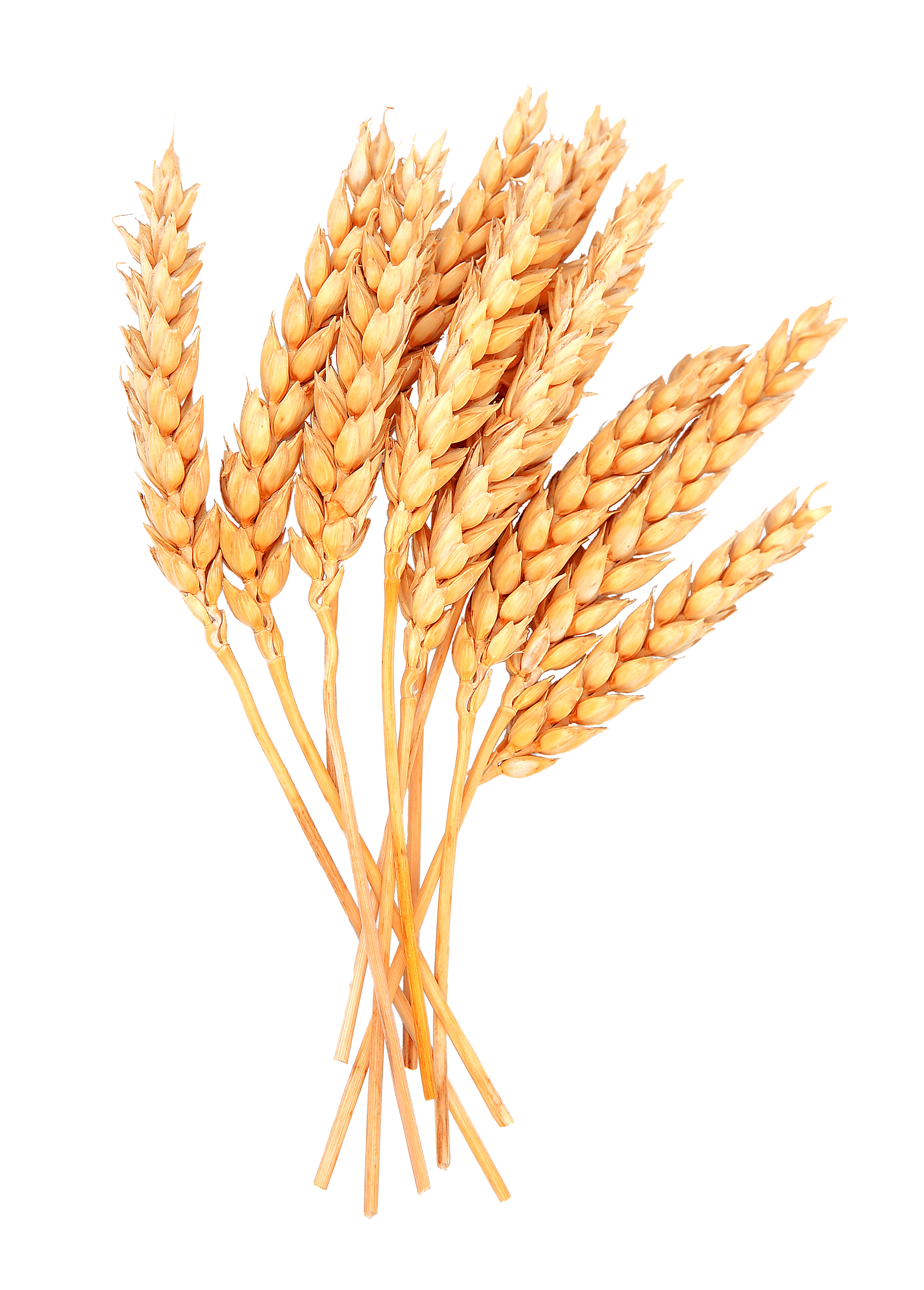 png free library Grains sheaf wheat free. Grain clipart grass bundle