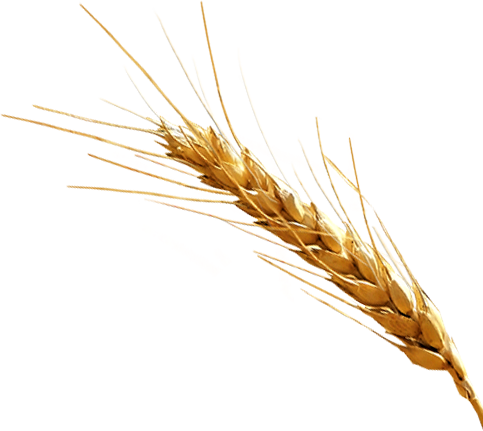 vector download Grain clipart malt. Wheat free on dumielauxepices