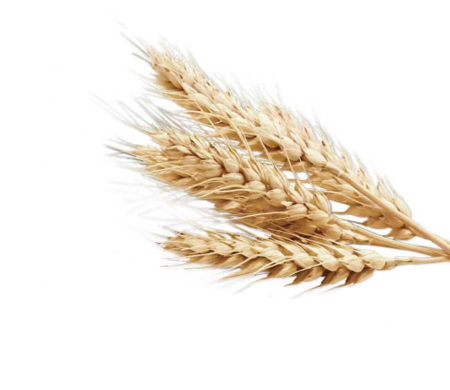 svg royalty free Grain clipart malt. Gehu free on dumielauxepices