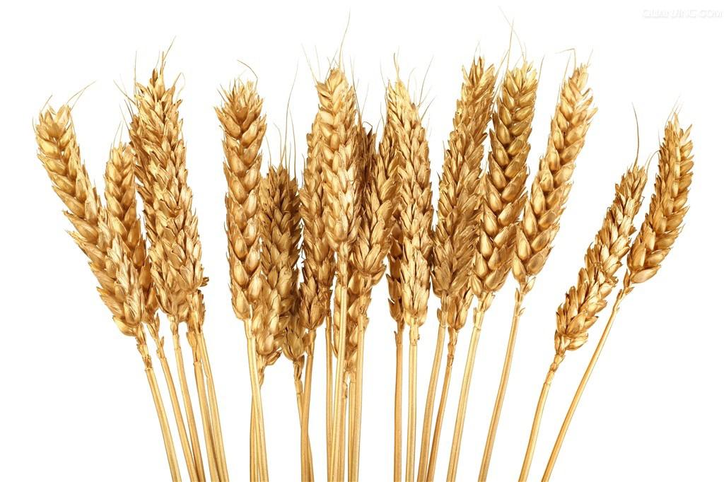 transparent Grains gold wheat free. Grain clipart malt