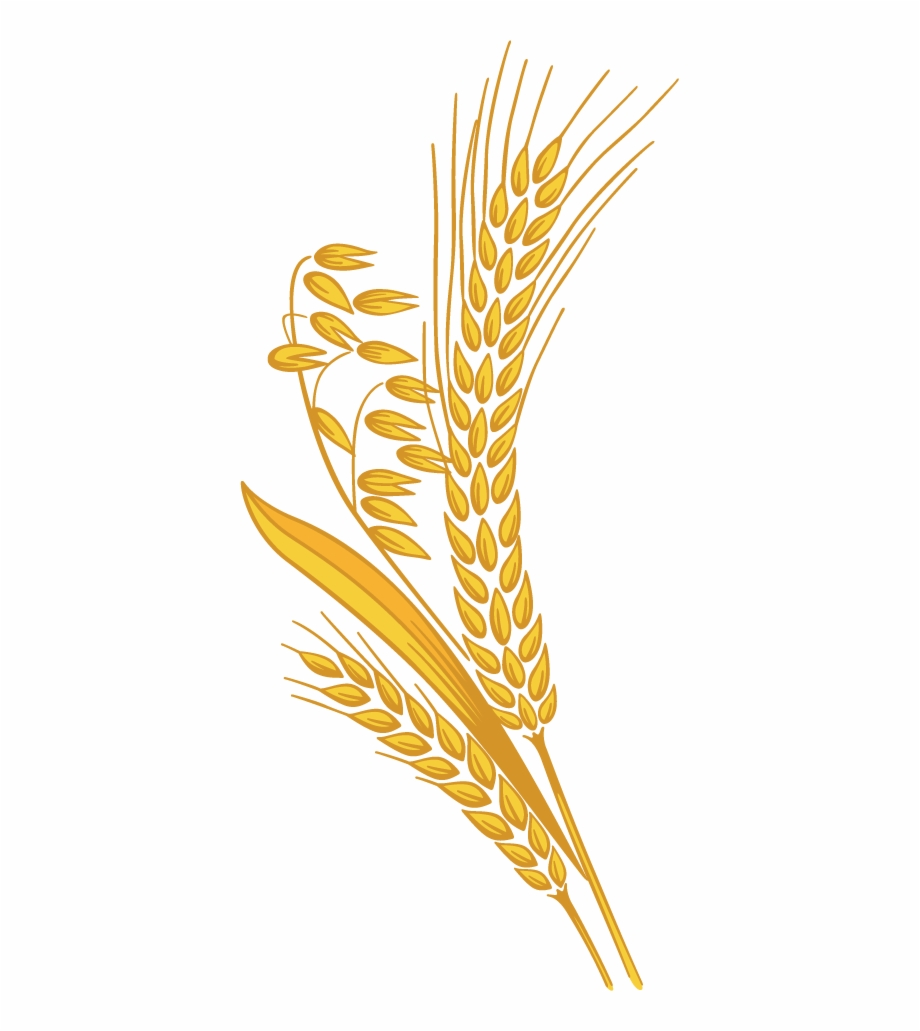 banner library Grains clipart wheat crop. Png rice grain free