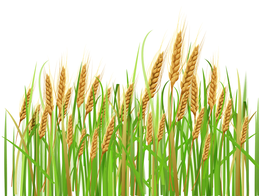 jpg black and white library Png free images toppng. Grains clipart wheat plant