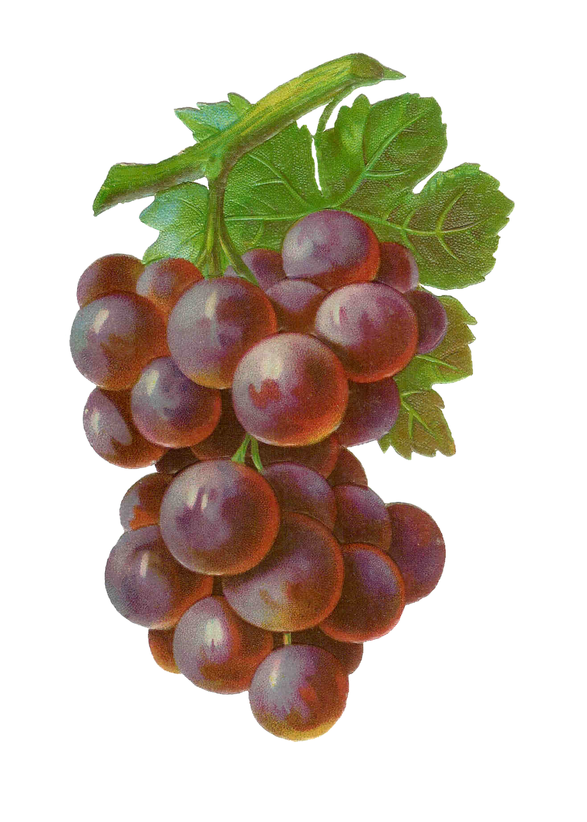 clip art royalty free Antique images free clip. Grape clipart grape cluster