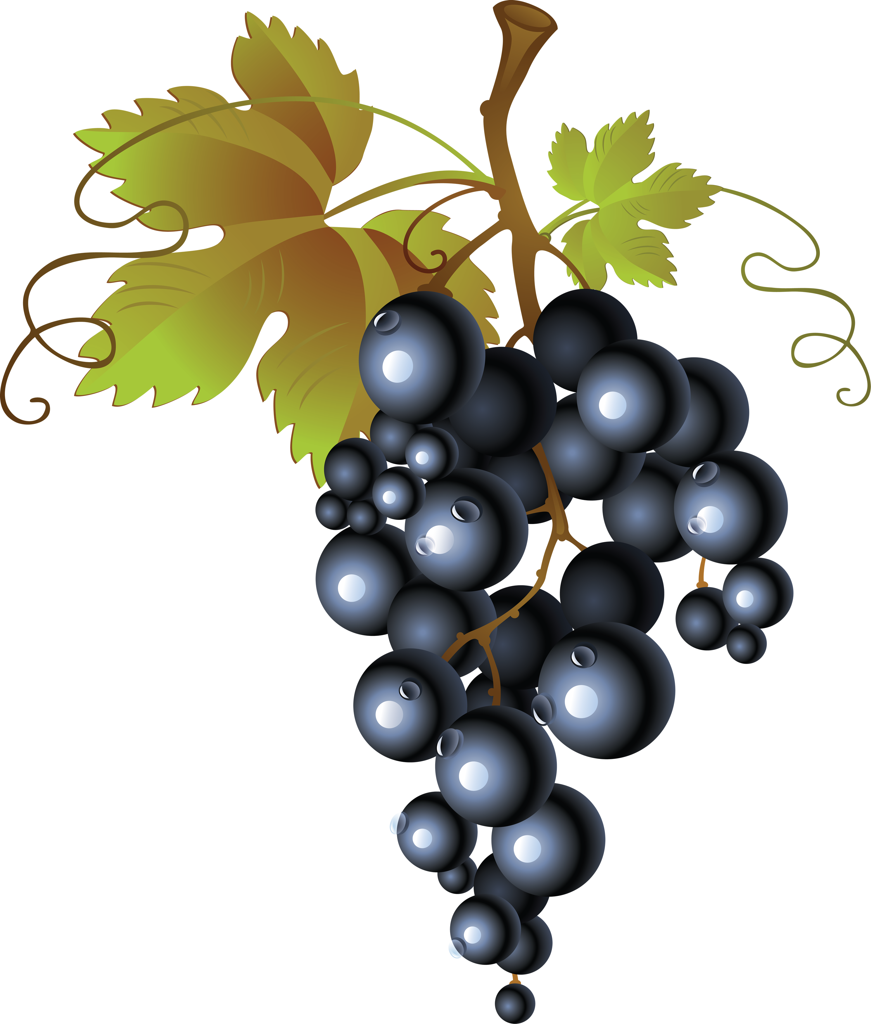 picture transparent library Grapes clipart vineyard grape. Vine at getdrawings com