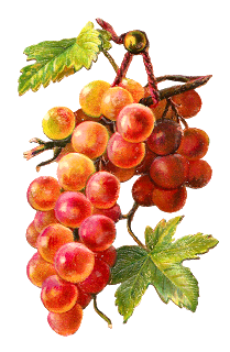 picture freeuse library Antique images free fruit. Grapes clipart watercolor