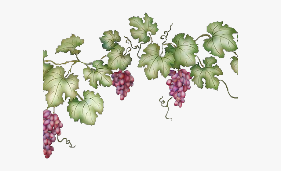 png free download Grapevine clipart. Transparent background grape