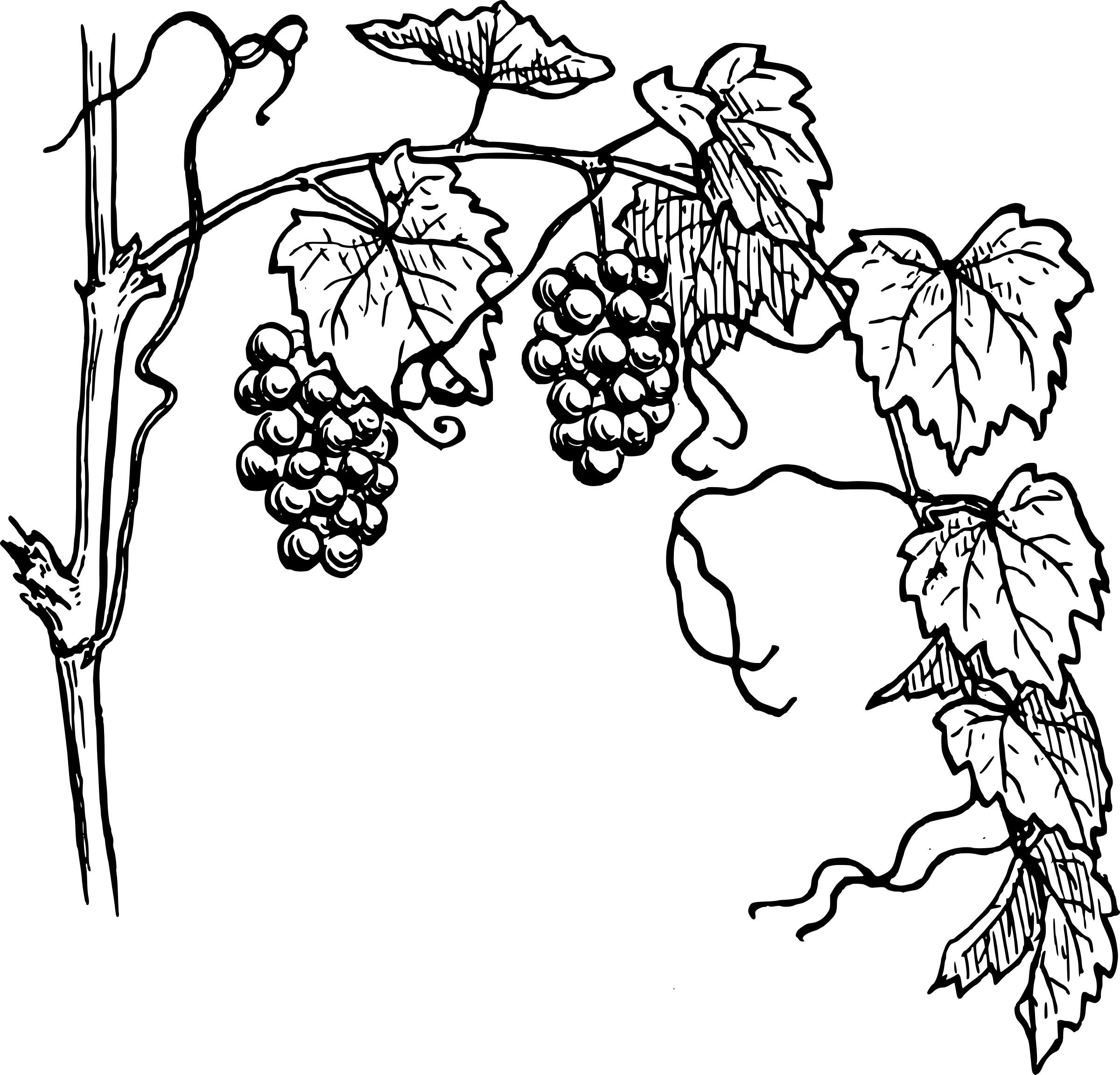 png library stock Grape vine drawing free. Grapevine clipart line