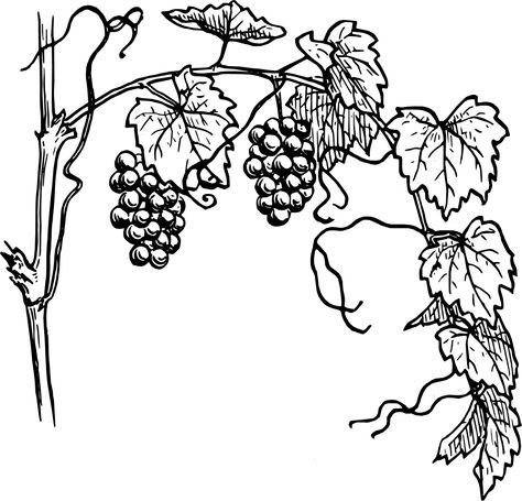 picture royalty free library Grapevine clipart line. Black and white vine