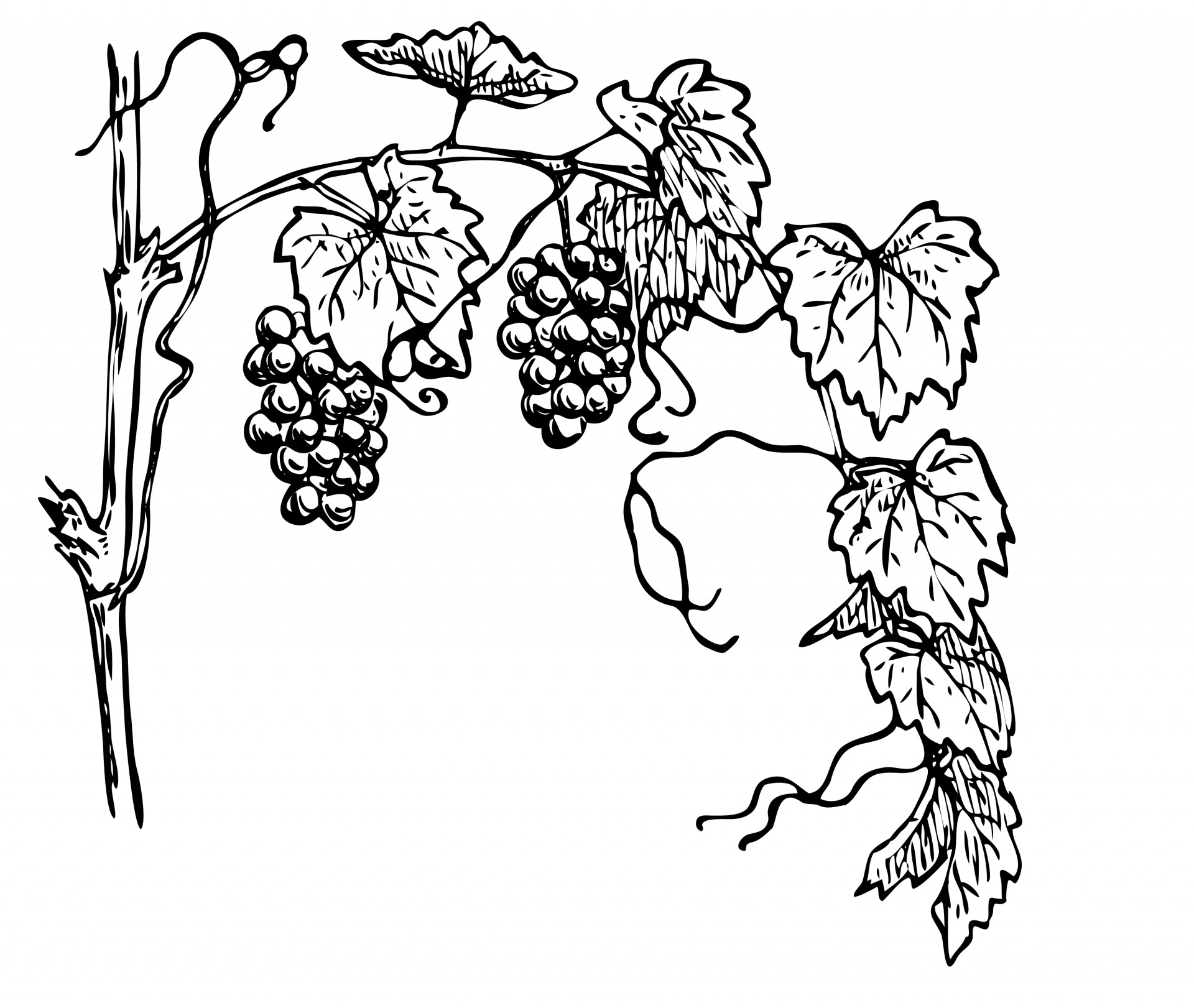 graphic stock Grapevine clipart line. Grapes leaves art free