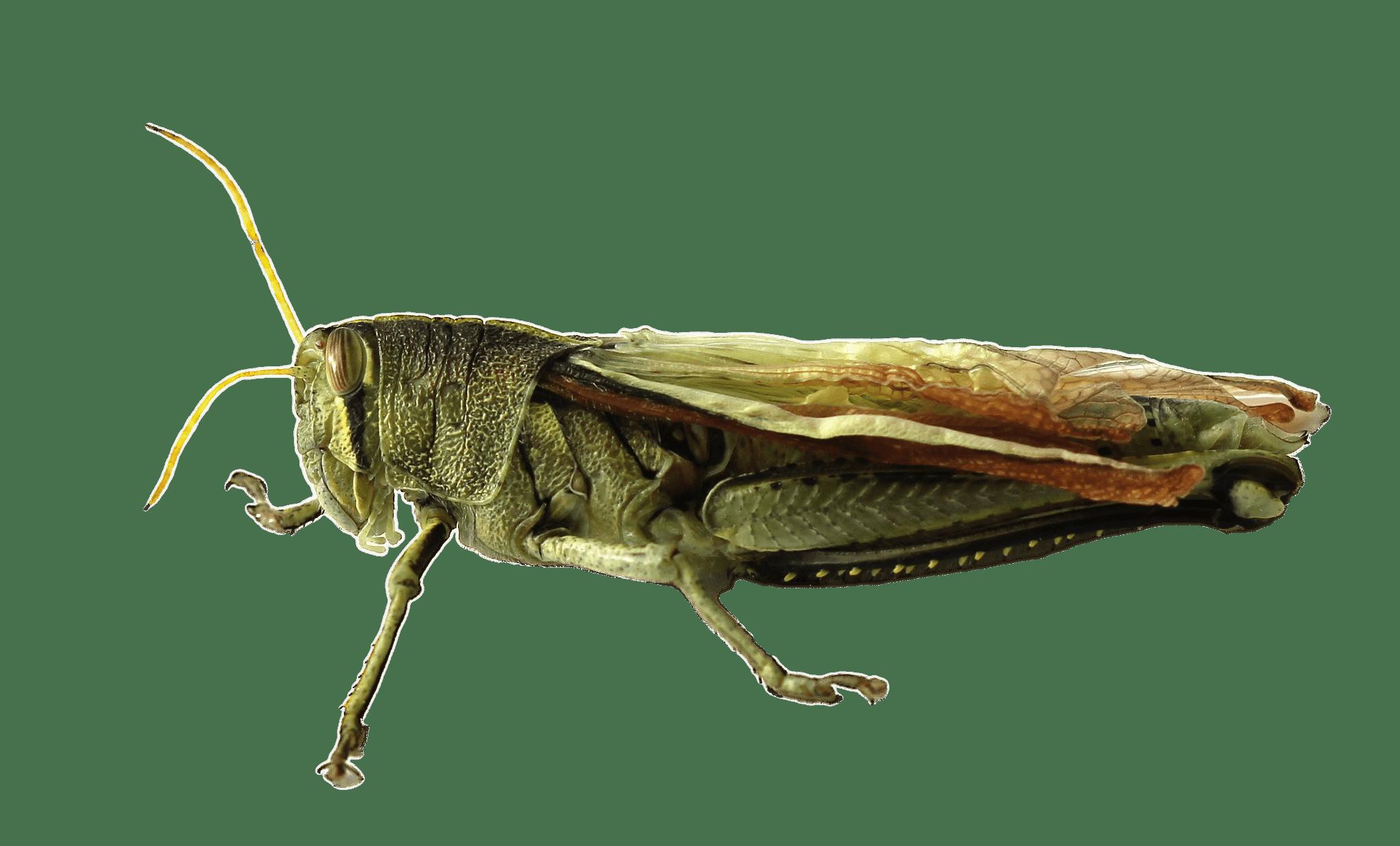 jpg library download Grasshopper clipart invertebrate. Transparent png stickpng