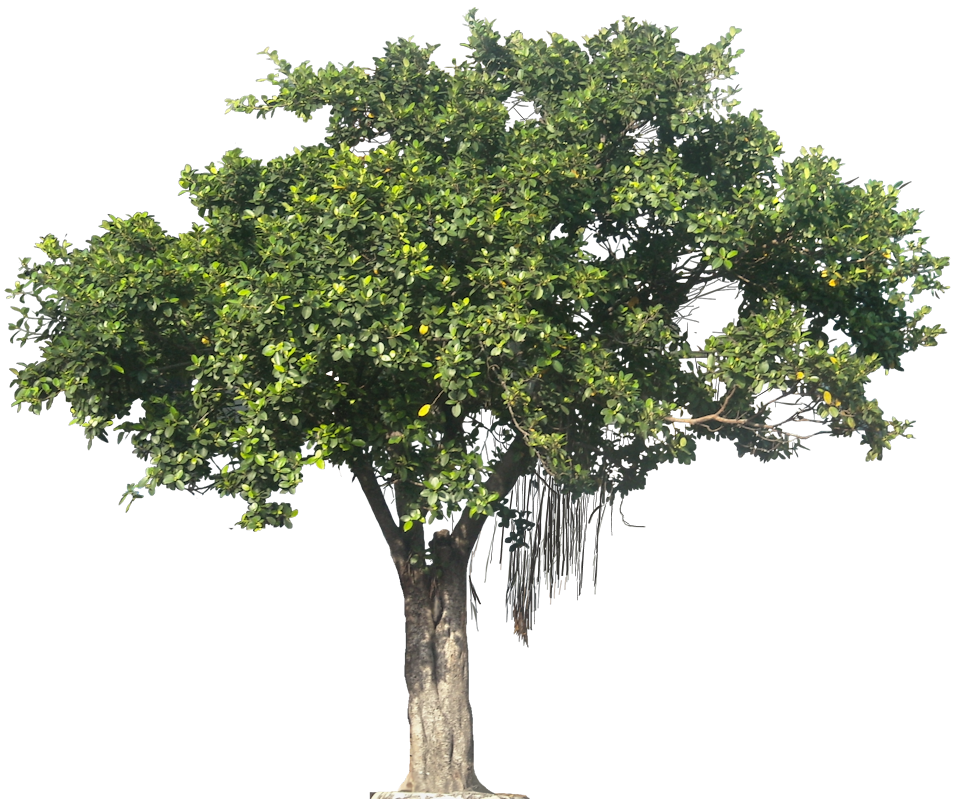 svg freeuse stock Growth clipart mango tree. Ficusmcp l png cut