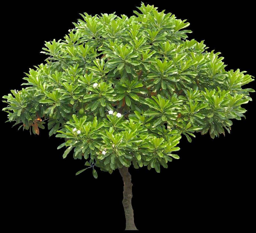 jpg freeuse library Cerbera manghas sea swtexture. Growth clipart mango tree