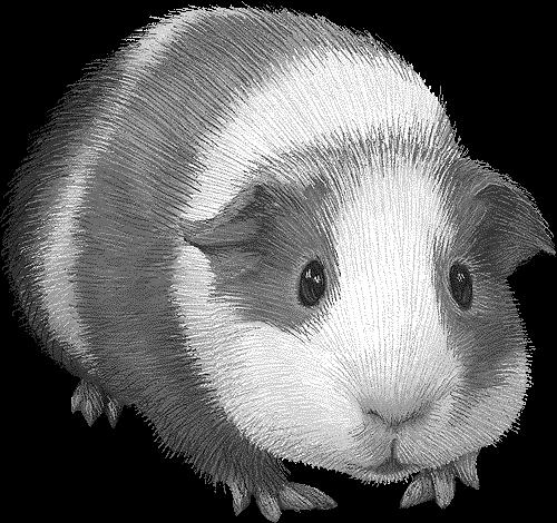 clip royalty free library Guinea clipart. Pig clipartblack com animal