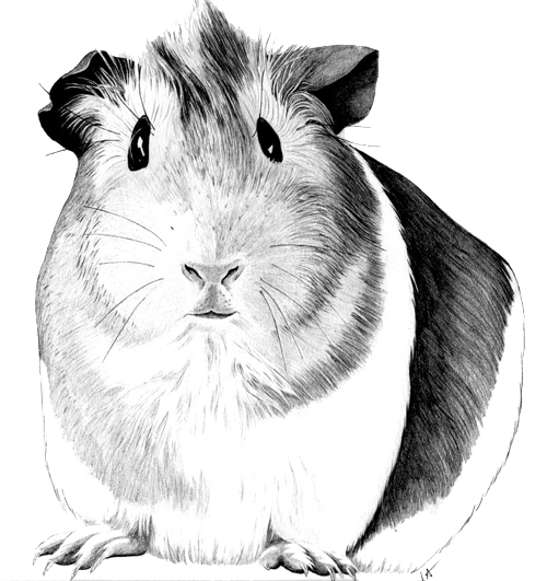 graphic royalty free stock Pig drawing google search. Guinea clipart cute