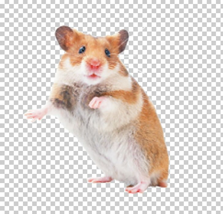 clipart royalty free stock Rat mouse pet png. Hamster clipart rodent.