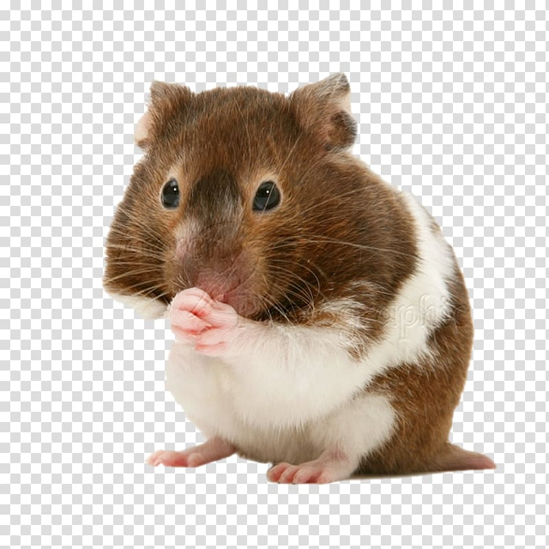 png royalty free download Golden gerbil pet . Hamster clipart rodent.
