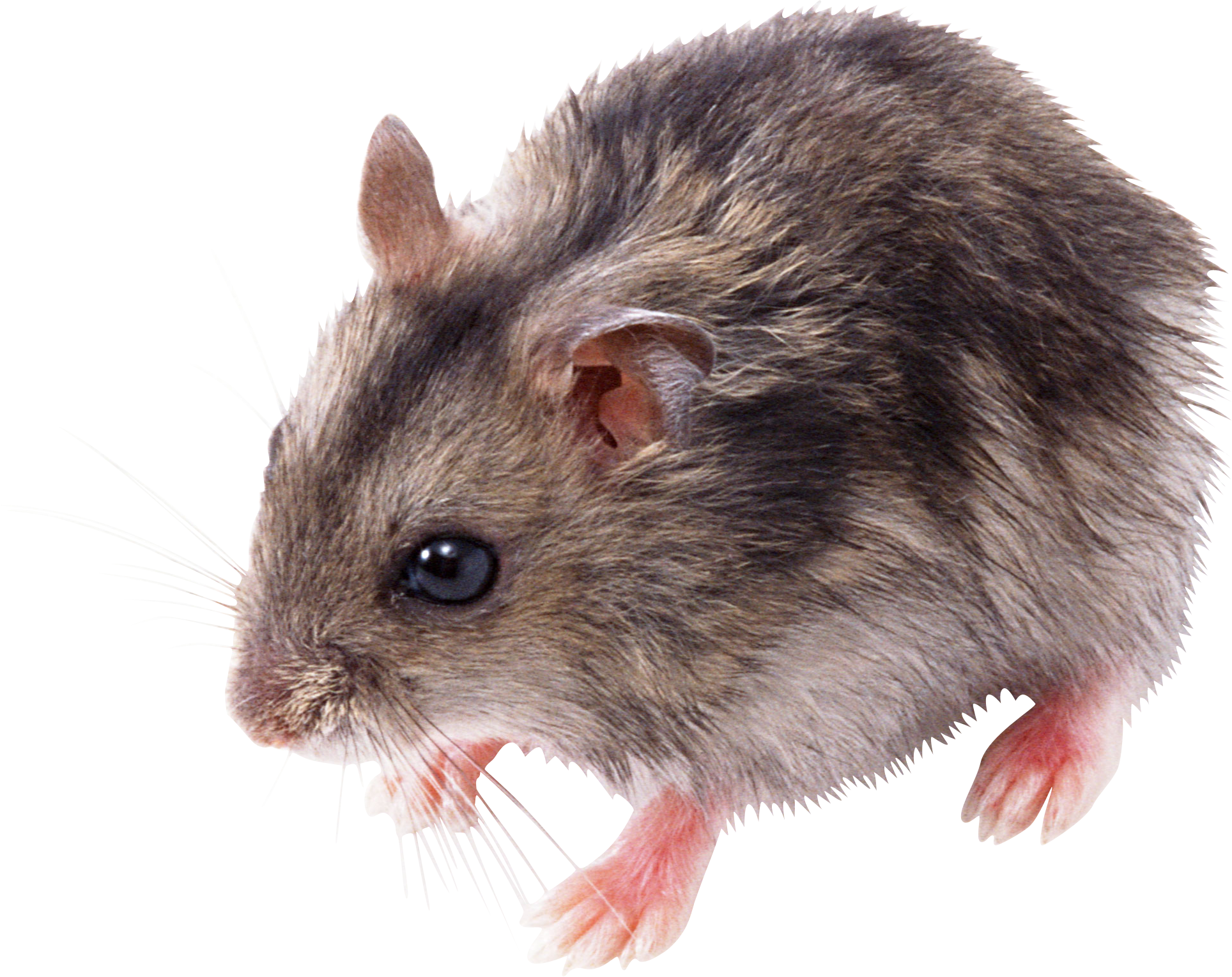 black and white stock Hamster png hd images. Transparent mice