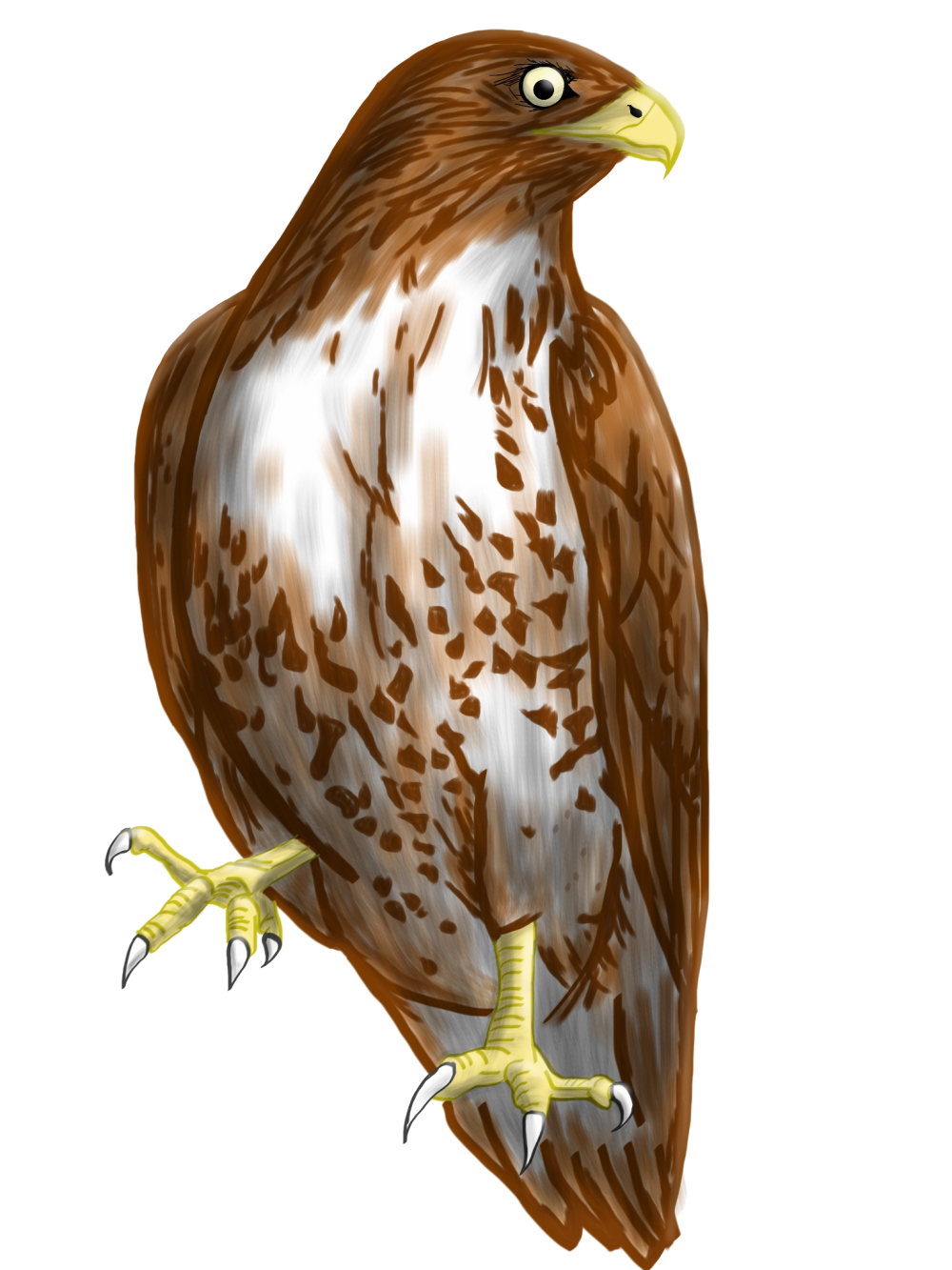black and white library Coopers drawn free on. Hawk clipart.