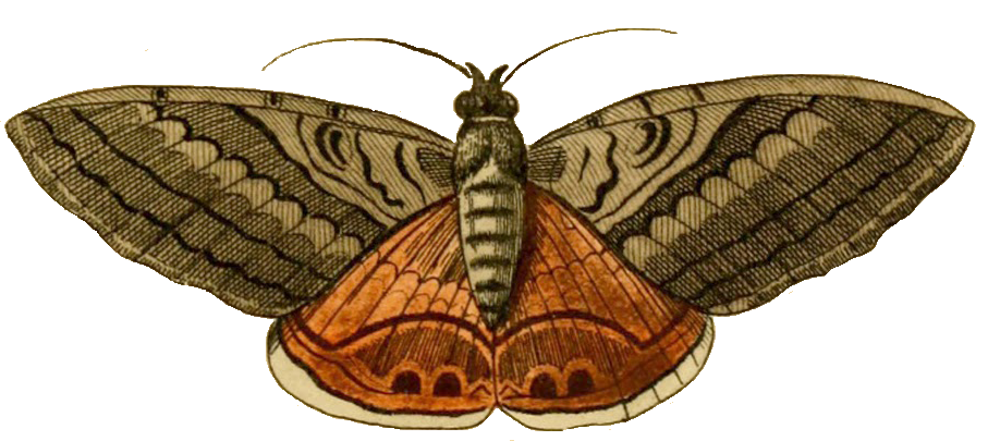 clipart freeuse download Moth clipart butter fly. Pix for clip art.