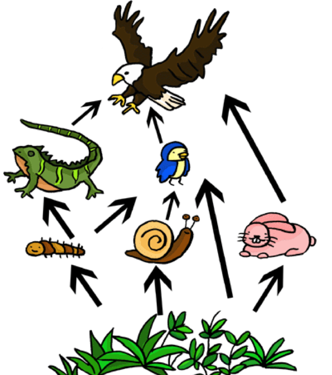 clipart royalty free stock Food web clipart. Hawk tertiary consumer free