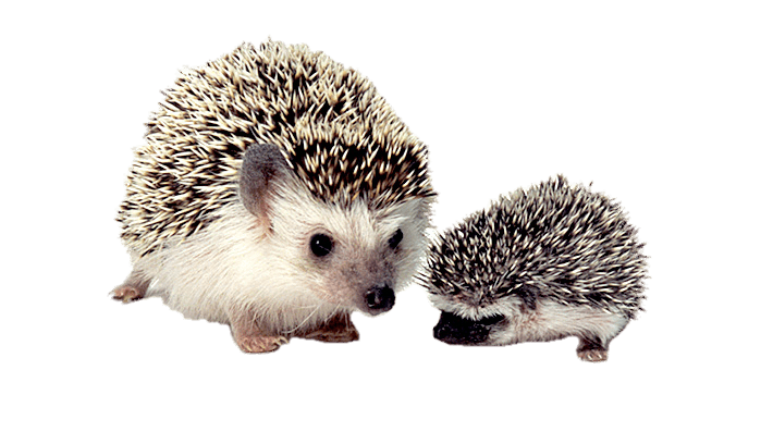 clip royalty free library Mother and baby png. Hedgehog transparent