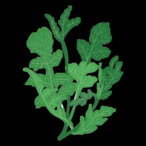 graphic free library Arugula rucola herb illustration