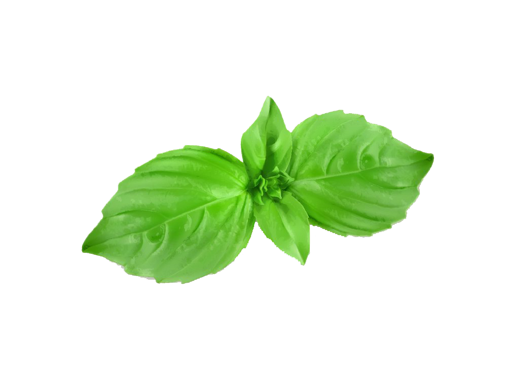 vector royalty free download Basil drawing plant. Herb mint royalty free