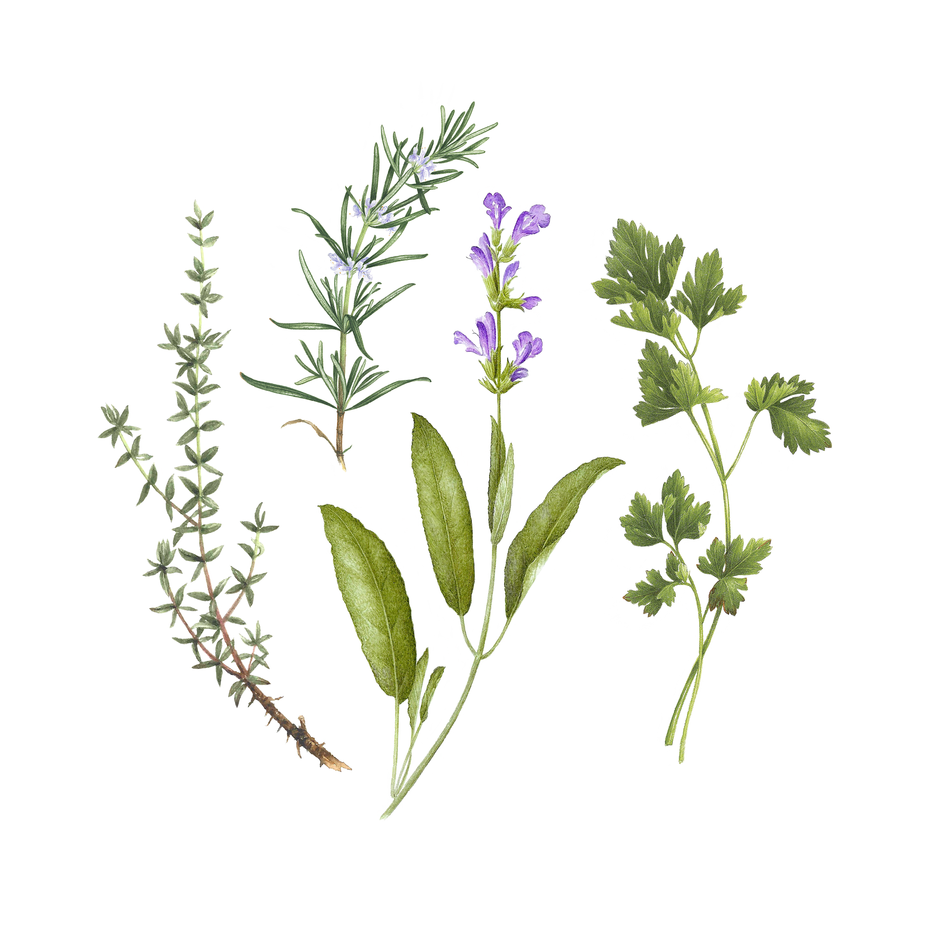 picture transparent Bouquet garni set products. Basil drawing fresh herb