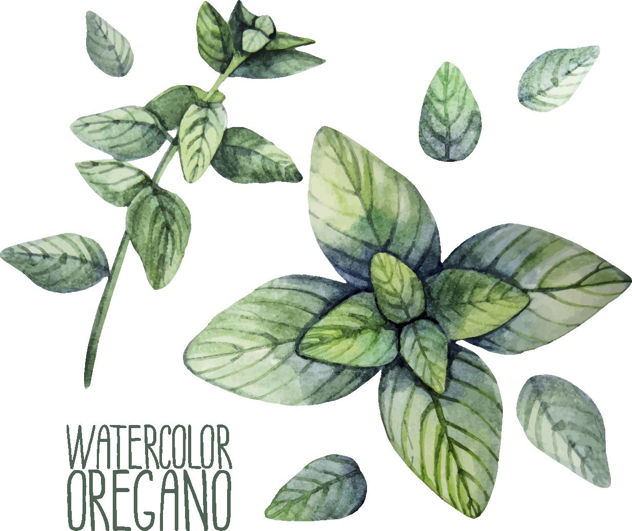 svg freeuse download Herb oregano watercolor painting. Basil drawing botanical illustration.