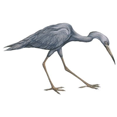 banner transparent library Grey Heron transparent PNG