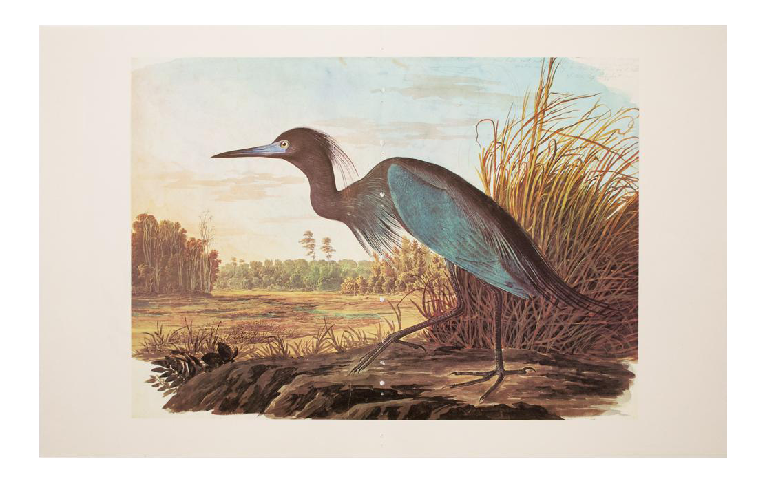 png library library Blue Heron by Audubon