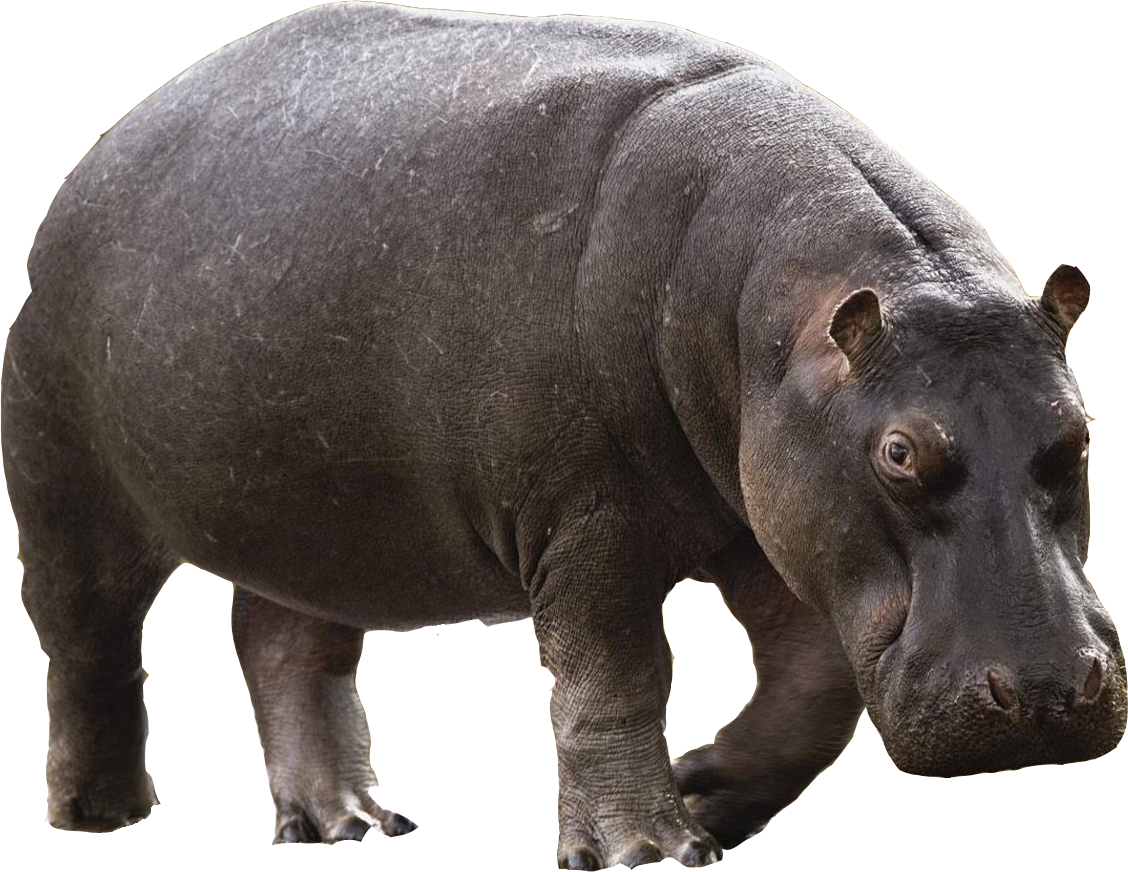 svg black and white library Hippopotamus clipart realistic animal. Hippo png images free