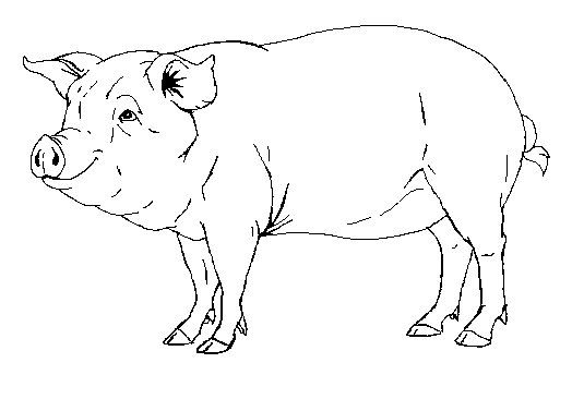 image transparent download realistic pig drawing