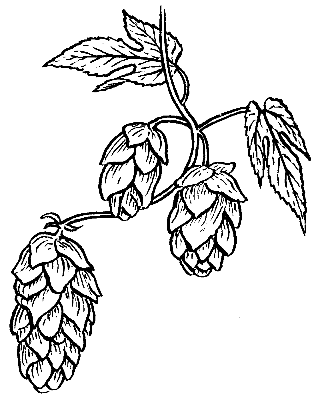 royalty free stock Free cliparts download clip. Hops clipart