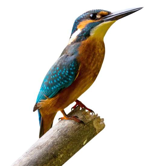 picture royalty free download Kingfisher Bird PNG Transparent Image