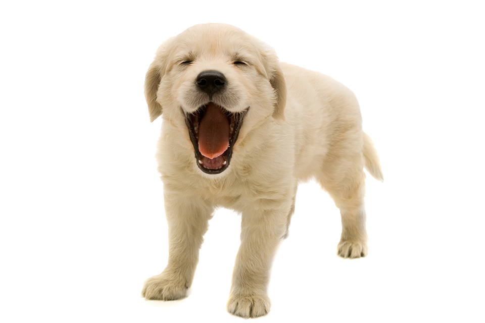 graphic royalty free Puppy png images transparent. Golden retriever clipart one dog