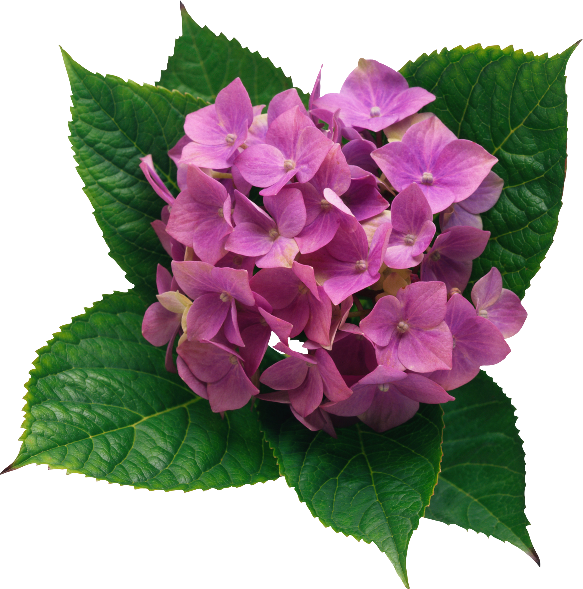 graphic free library Png picture gallery yopriceville. Hydrangea clipart.