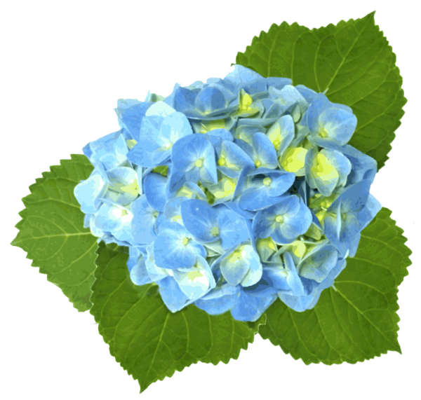 jpg transparent library Blue free images at. Hydrangea clipart green hydrangea