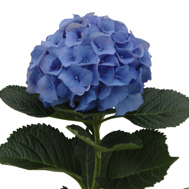 image free stock Hydrangea clipart green hydrangea. Our rich assortment of