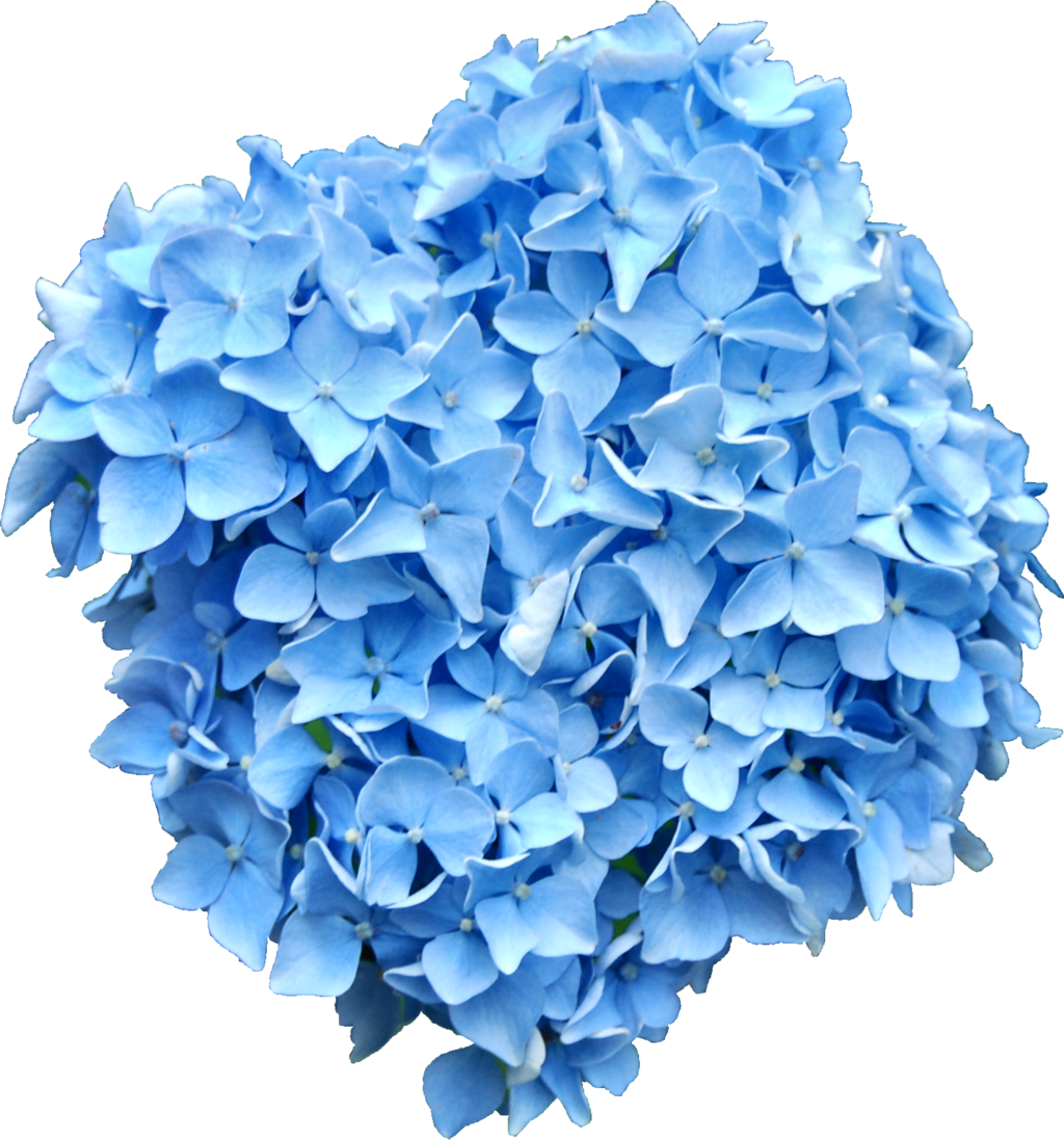clip freeuse library Blue png by alz. Hydrangea clipart green hydrangea