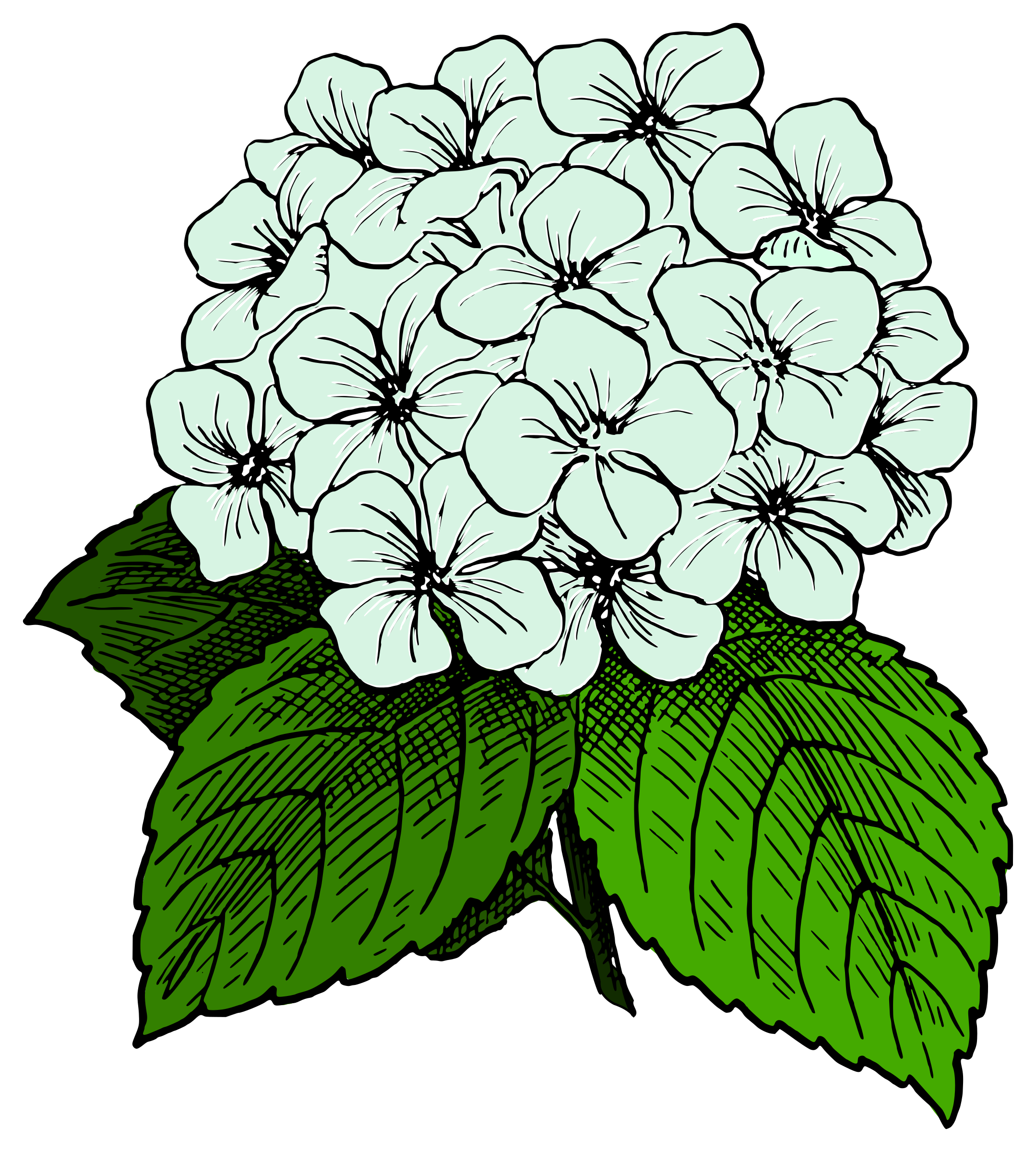 black and white download Hydrangea clipart green hydrangea. Image result for black