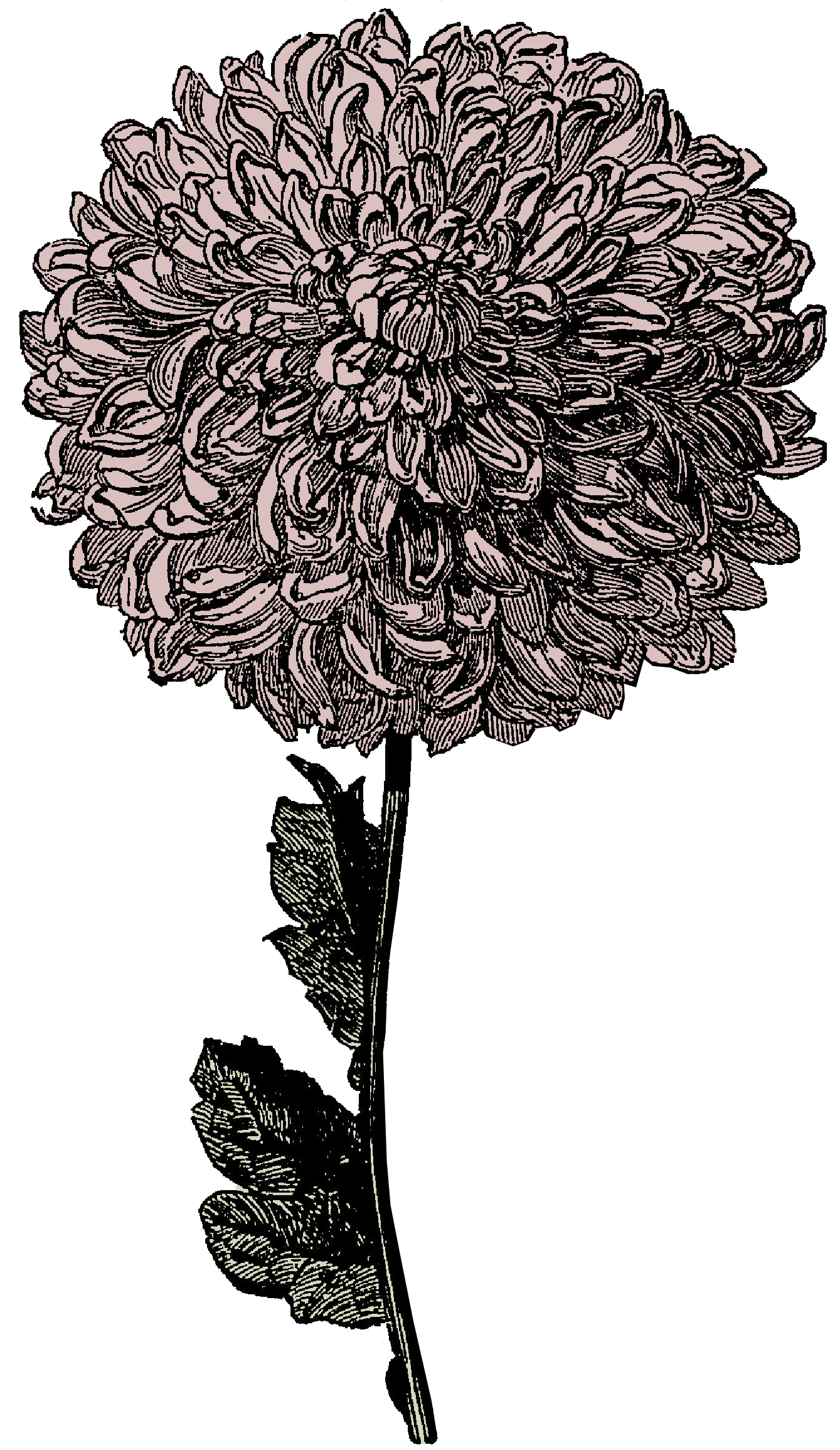 clipart transparent library In this free victorian. Chrysanthemums drawing