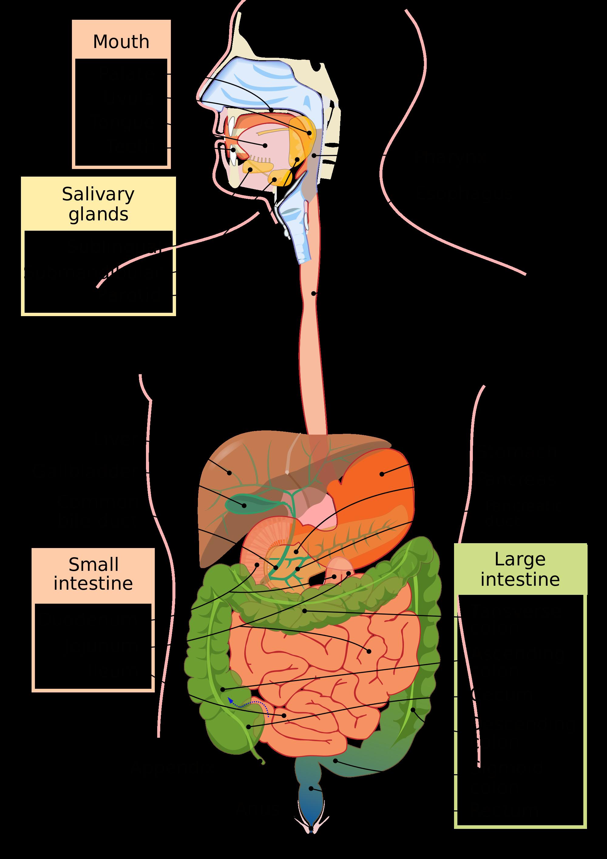 jpg royalty free pancreas drawing digestive system #114863267