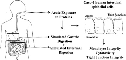 freeuse stock Incorporation of in vitro digestive enzymes in an intestinal
